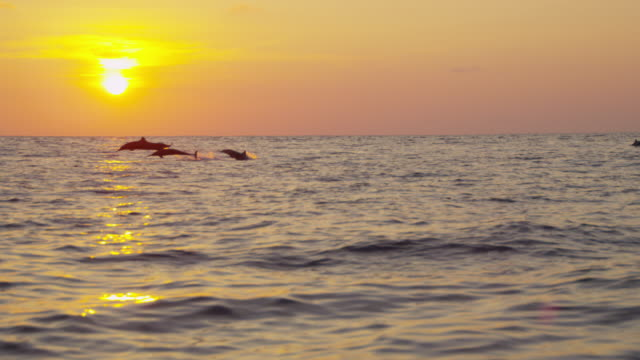ws sunset with spinner dolphins leaping in foreground - dolphin stock videos & royalty-free footage