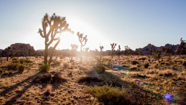 ds sunshine behind joshua trees - joshua tree national park stock videos & royalty-free footage
