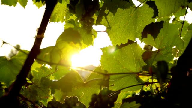 サンシャイン グレイプバインと雨 - 太陽フレア点の映像素材/bロール