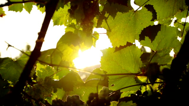 sunshine grapevine and rain - twig stock videos & royalty-free footage