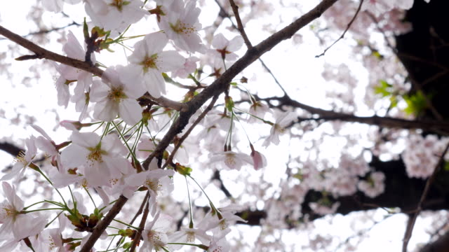 sunshine through cherry blossom - great white cherry stock videos & royalty-free footage