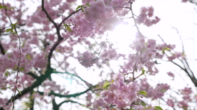 ds:sunshine through cherry blossoms - great white cherry stock videos & royalty-free footage