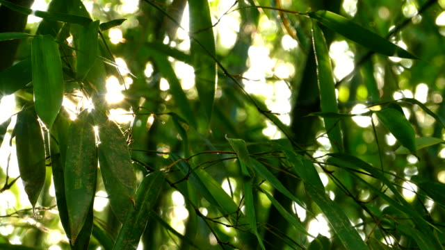 sunshine through the bamboo leaves