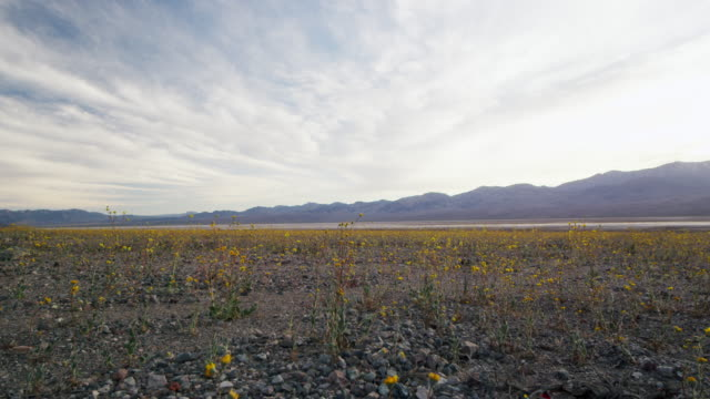 Super Bloom of wildflowers in Death Valley National Park