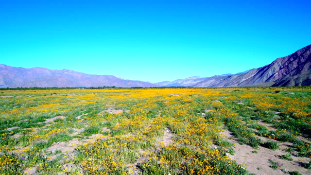 Super bloom of yellow flowers
