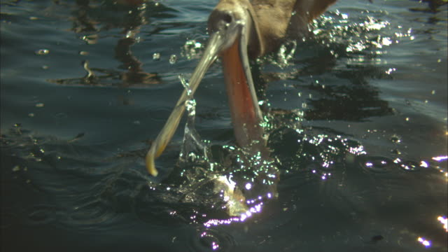 vídeos de stock e filmes b-roll de super slo mo cu brown pelican striking to camera at fish near surface very close to camera  - pelicano