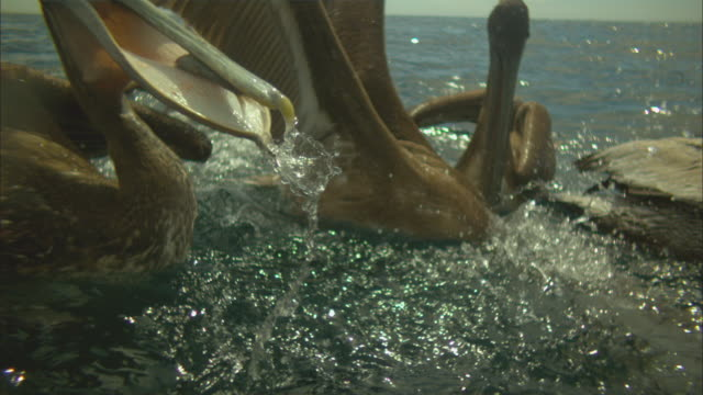 vídeos de stock e filmes b-roll de super slo mo ms brown pelican swallows fish very close to camera  - pelicano