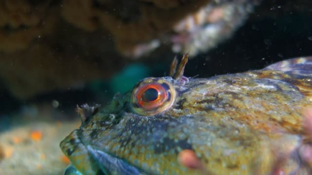 super close up: tompot blenny rockpool fish with an open mouth - tompot blenny stock videos and b-roll footage