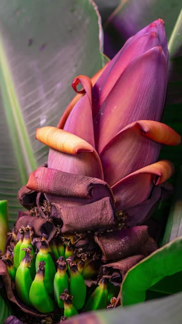 super dwarf cavendish banana flower bud - banana stock videos & royalty-free footage