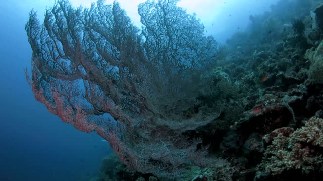 super giant red gorgonian sea fan coral in deep sea - gorgonian coral stock videos & royalty-free footage