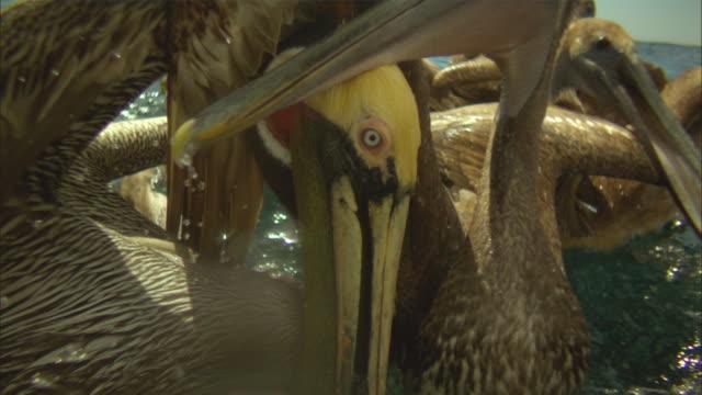 vídeos de stock, filmes e b-roll de super slo mo cu group of brown pelicans striking at fish near surface very close to camera  - pelicano
