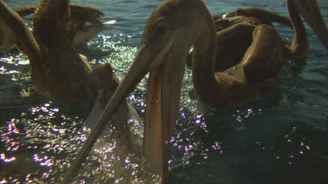 Super SLO MO group of Brown Pelicans striking in profile at fish near surface very close to camera