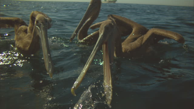 Super SLO MO group of Brown Pelicans striking to camera at fish near surface very close to camera