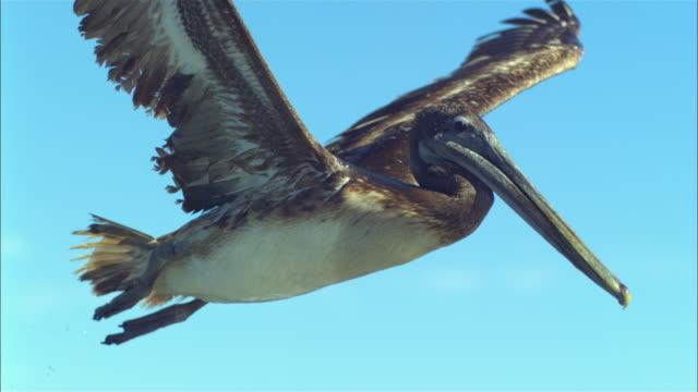 vídeos de stock e filmes b-roll de super slo mo ms into cu track with brown pelican flying very close to camera  - pelicano