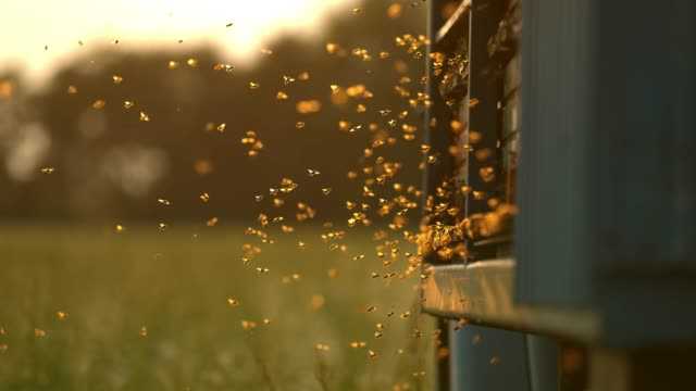 MS Super slow motion bees flying,hovering at hive