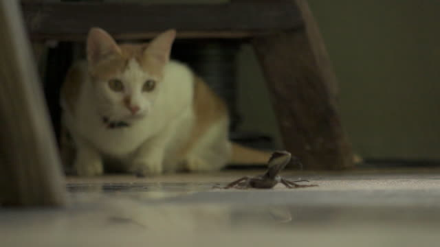 super slow motion katze fangen chamäleon - jagd stock-videos und b-roll-filmmaterial
