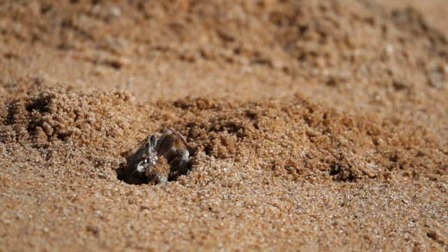 hd super slow motion: crab on the beach, out of the hole - aquatic organism stock videos & royalty-free footage
