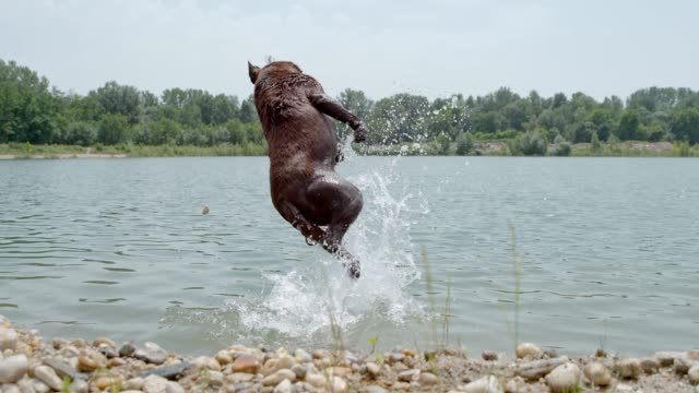 ms super slow motion dog jumping out of river to catch ball - impact stock videos and b-roll footage
