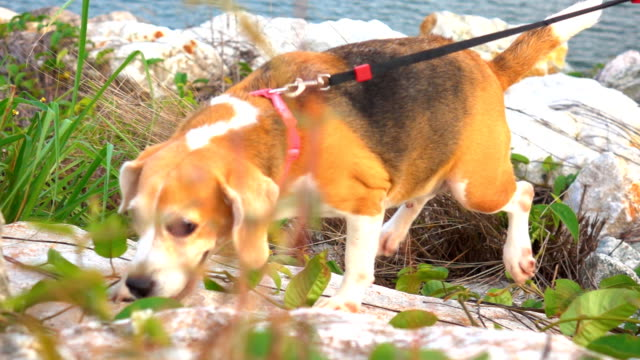super slow motion dog run on mountain - beagle stock videos & royalty-free footage