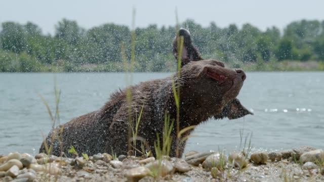 vídeos y material grabado en eventos de stock de ms super slow motion perro sacudiendo el agua de la piel en el soleado río - regar