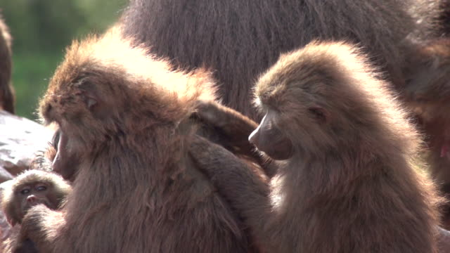 Super Slow Motion HD - Baboons preening one another