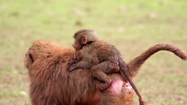 Super Slow Motion HD - Monkey having a piggy back