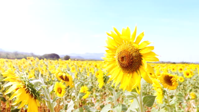 super slow motion hd:field of sunflowers waving in wind in thailand. - bugtiger stock videos and b-roll footage
