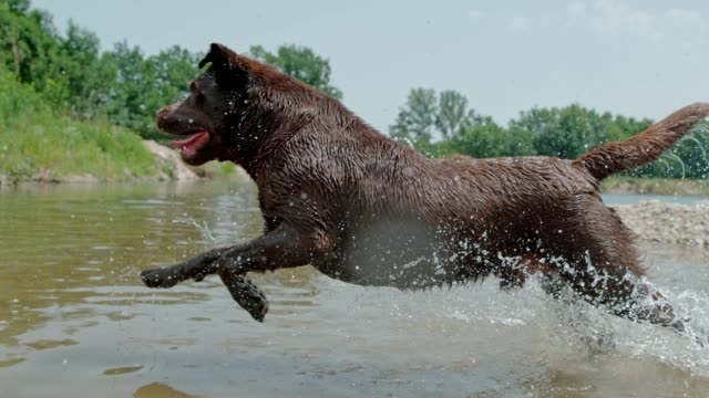MS Super slow motion playful dog running and splashing in sunny river