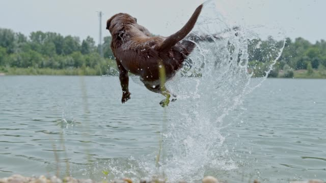 ms super slow motion wet dog jumping to catch ball in sunny river - catching stock videos & royalty-free footage