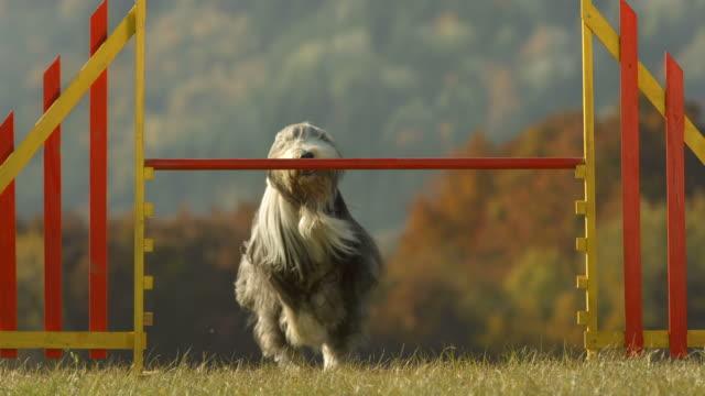 vídeos de stock, filmes e b-roll de super câmera hd-seg: collie barbudo pulando sobre obstáculo - competição