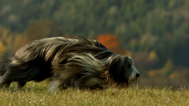 hd super slow-mo: bearded collie running in grass - high speed photography stock videos and b-roll footage