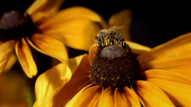 HD Super Slow-Mo: Bee Collecting Pollen