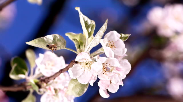 HD Super Slow-Mo: Bee On A Blossom