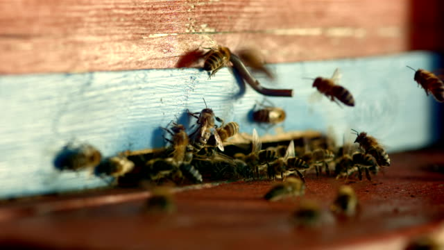 HD Super Slow-Mo: Bees At The Entrance Of A Beehive