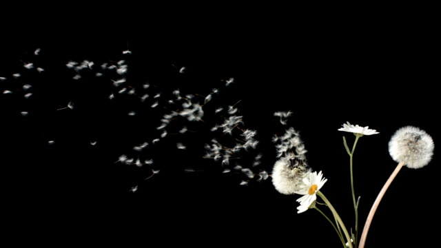 HD Super Slow-Mo: Blowing A Bunch Of Wildflowers