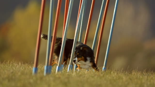 hd super slow-mo: border collie running through weave poles - agility stock videos & royalty-free footage