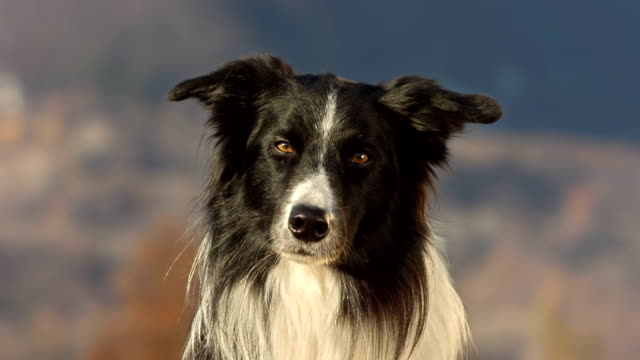 hd super slow-mo: cute border collie looking at camera - collie stock videos & royalty-free footage