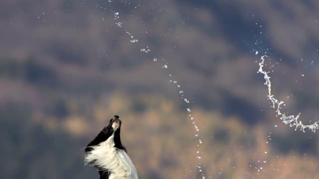 HD Super Slow-Mo: Dog Catching Water Droplets
