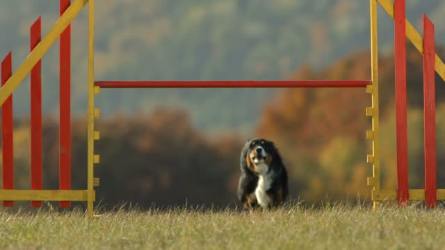 hd super slow-mo: dog jumping over the hurdle - jumping stock videos & royalty-free footage