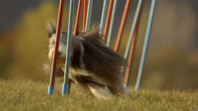 hd super slow-mo: dog running through weave poles - obstacle course stock videos & royalty-free footage