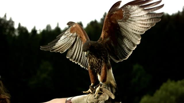 vídeos de stock e filmes b-roll de hd super em câmara lenta: falconer com búteo-de-harris - espalhar