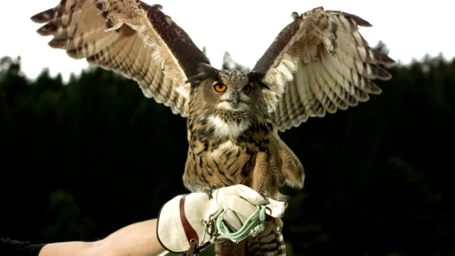 hd super slow-mo: falconer with horned owl - brown stock videos & royalty-free footage