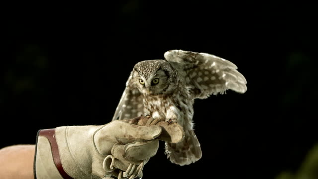 hd super slow-mo: falconer with little owl - sports glove stock videos and b-roll footage