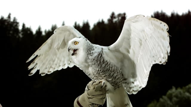 hd super slow-mo: falconer with snowy owl - animal wing stock videos & royalty-free footage