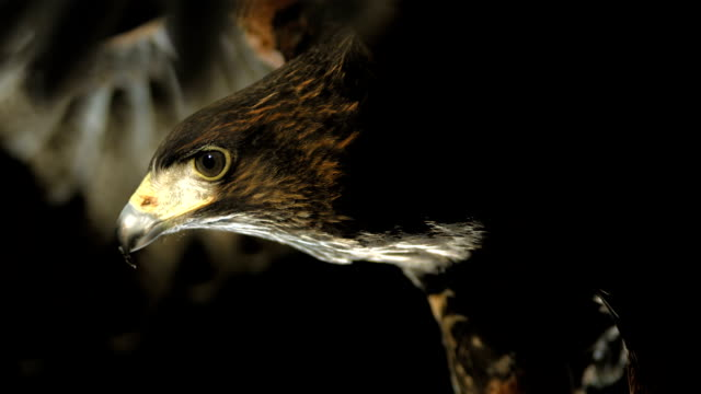 hd super slow-mo: flying harris hawk - black background stock videos & royalty-free footage