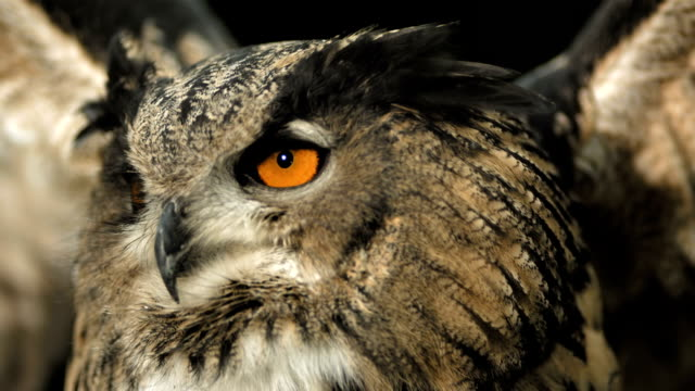 hd super slow-mo: flying horned owl - owl stock videos & royalty-free footage