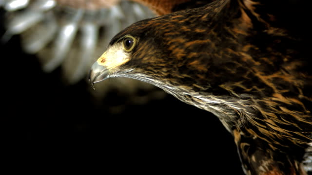HD Super Slow-Mo: Harris Hawk Flying At Night