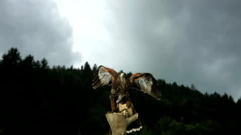 hd super slow-motion: harris falco volare fuori - bird video stock e b–roll