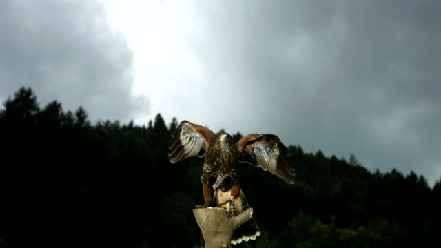 hd super slow-mo: harris hawk flying off - animal wing stock videos & royalty-free footage