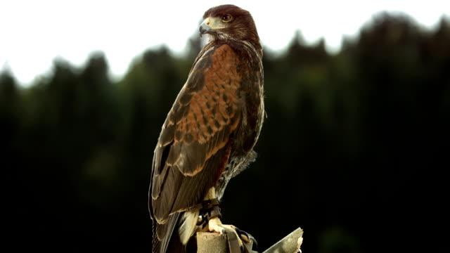 vídeos y material grabado en eventos de stock de hd super cámara lenta: hawk sentado en una rama - halcón